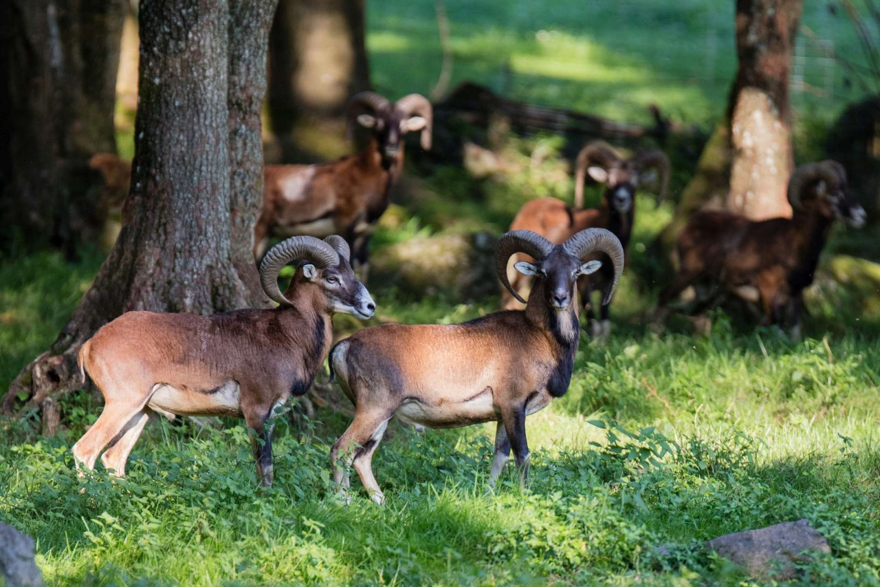 Discounted Cancellation Hunt With 3 Days Half Board Harvesting Of A Mouflon Up To 50 Cm Huntermeetshunter
