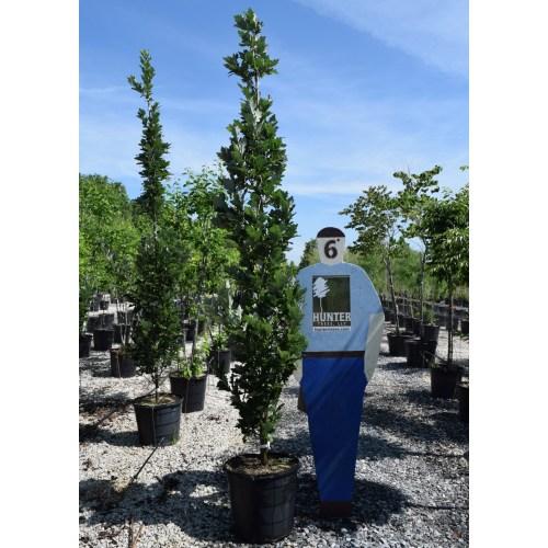 Medium Crop Of Regal Prince Oak