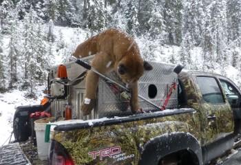 Cougar hunting montana