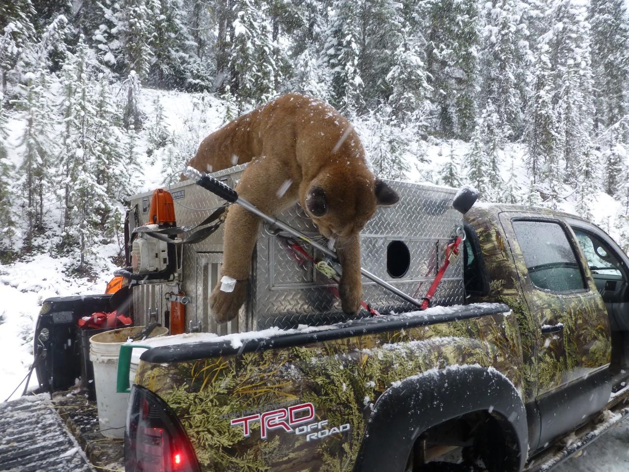 mountain lion attack buck deer ~ Ambush by Tom Mansanarez ...