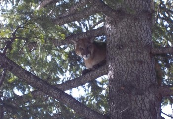 Cougar hunting Montana Outfitter (3)