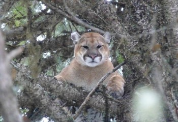 Cougar hunting Montana Outfitter (7)