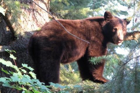 Black Bear Hunts 2014
