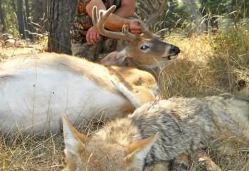 whitetail deer Paul hunt