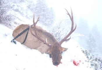 Rifle Elk hunts montana (3)