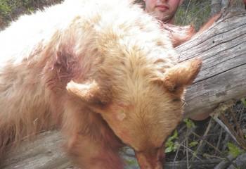 bear hunting montana trips