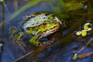Can frogs measure water health