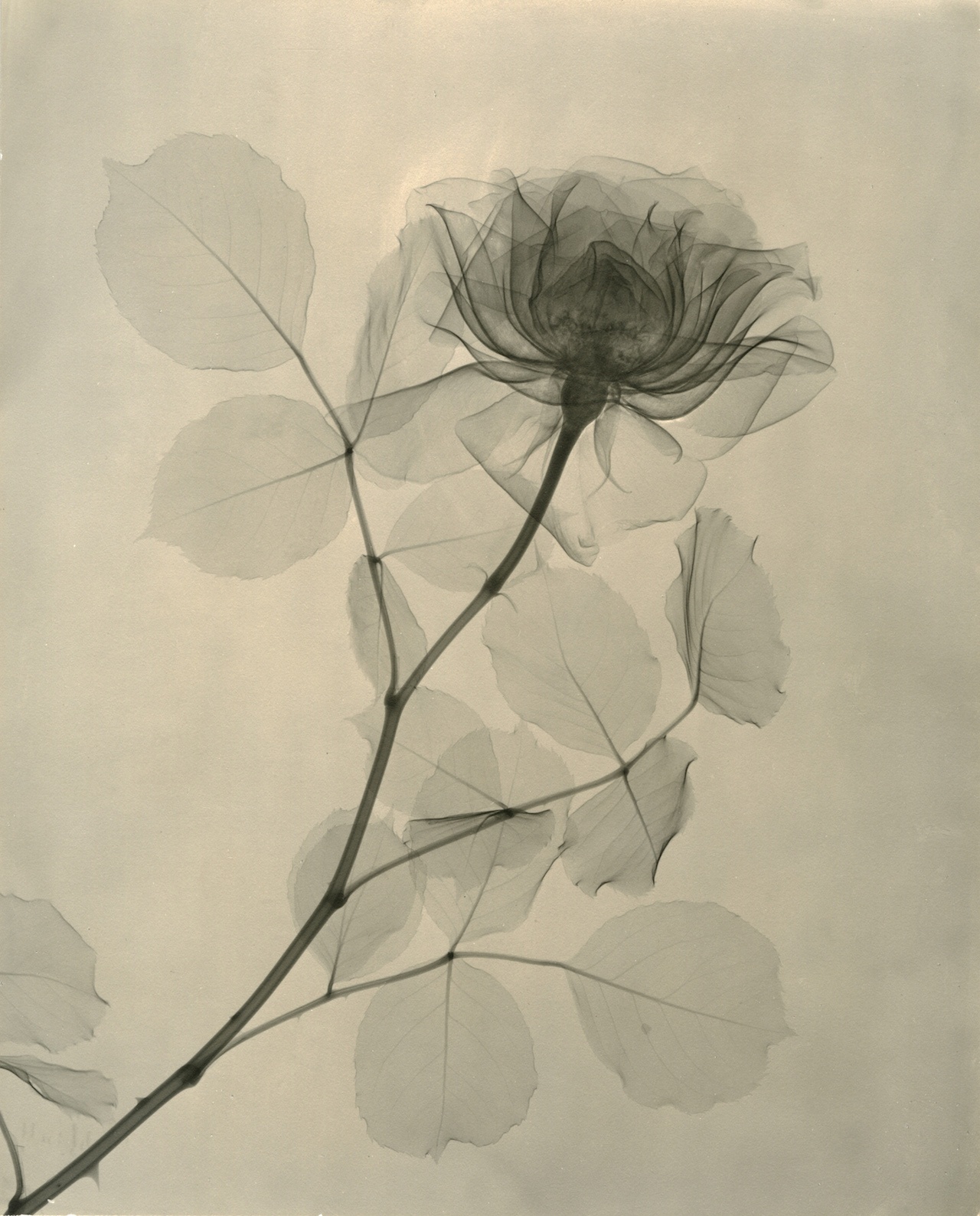 Xray Flower Prints A Radiologist 39s X Ray Photographs Of Flowers From The 1930s