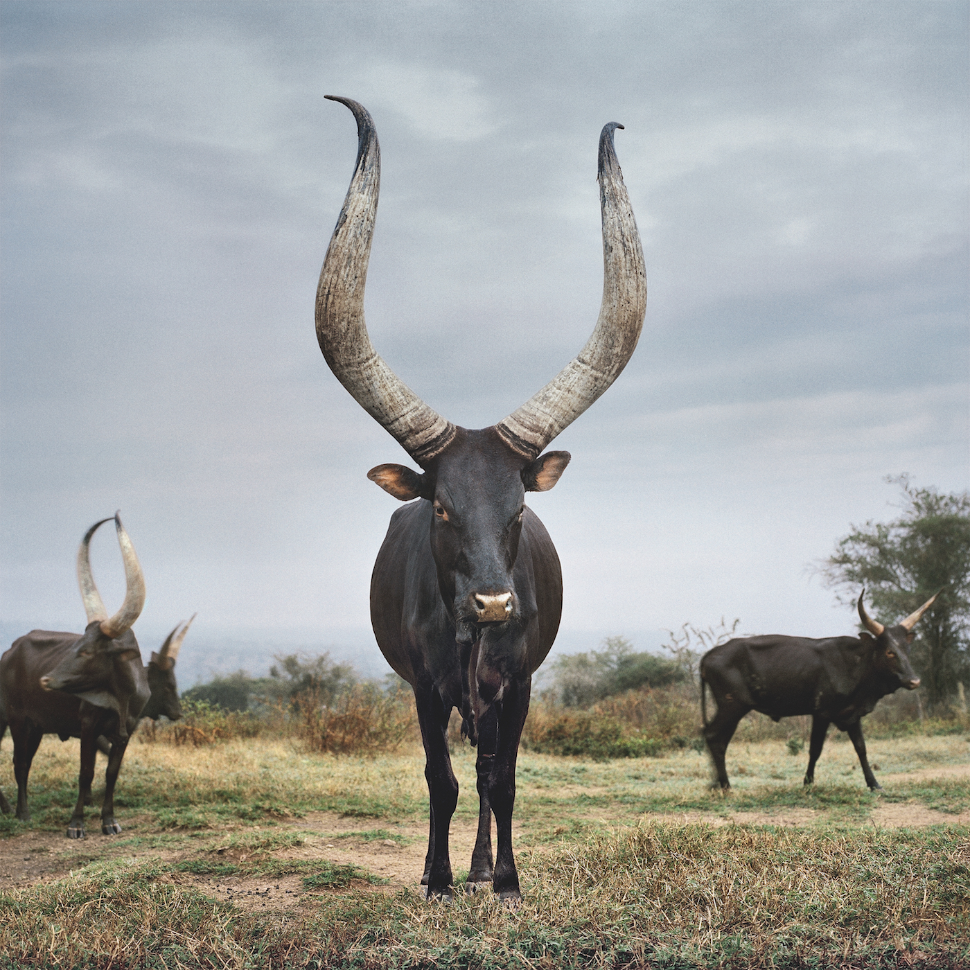Black Crown Wallpaper A Photographer S Two Year Journey To Document Sacred Cows