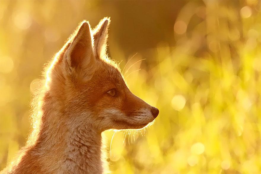 Fall Sunshine Wallpaper Raposas Selvagens Fotos Incr 237 Veis Que V 227 O Conquistar Voc 234
