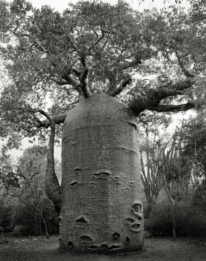 vecchi alberi 12