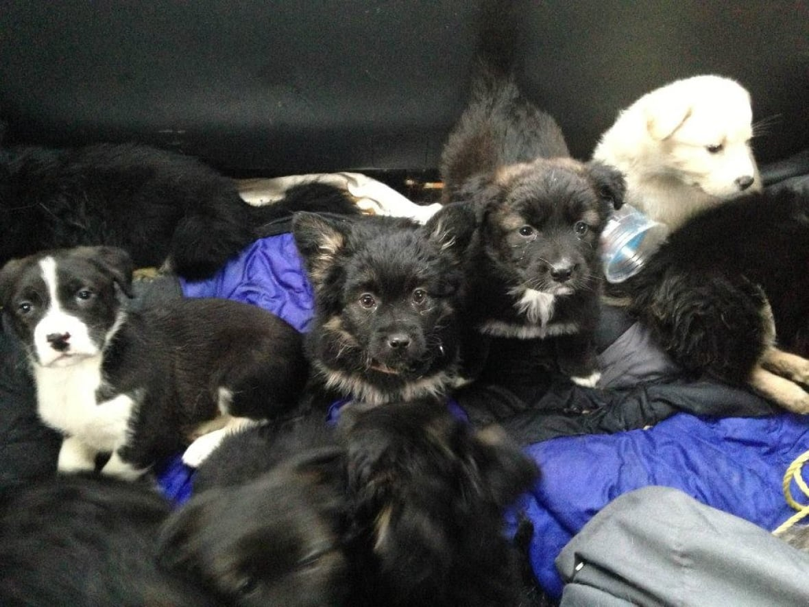 Rescue Dogs Puppies For Adoption Watson Lake Puppies Find New Homes In Whitehorse Cbc News