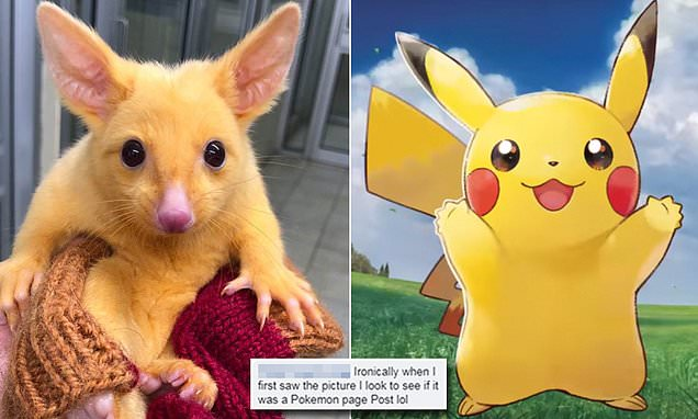 Meet the rare golden brushtail possum that looks like a real life