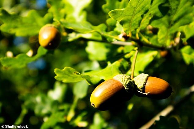 Britain\u0027s symbolic oak tree is \u0027vulnerable\u0027 to pests and climate