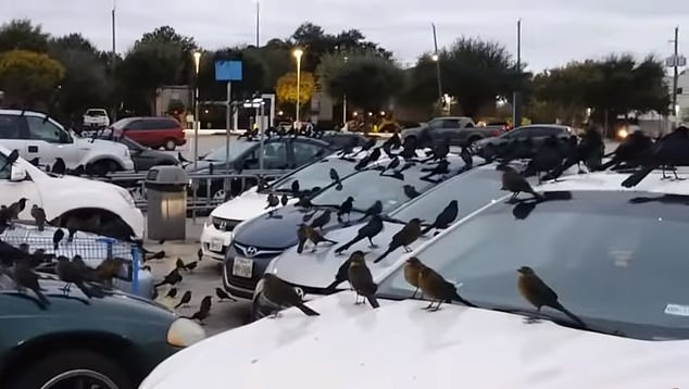 Right out of a horror movie! Crows invade Walmart parking lot as