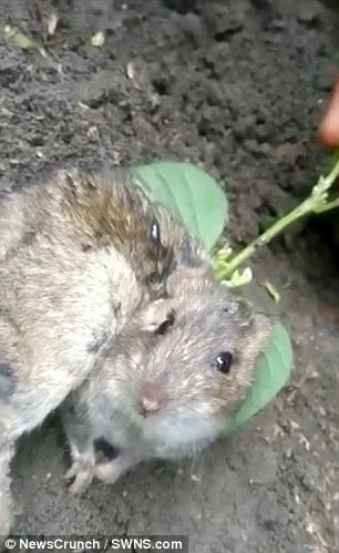 Farmer finds a rat with a PLANT growing out of its back \u0027after a
