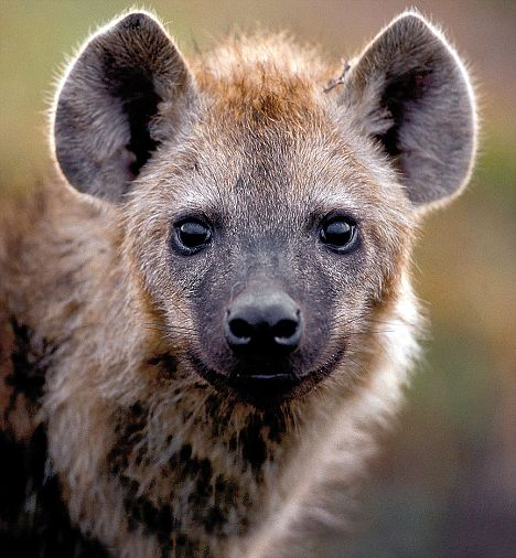 Cute Baby And Mother Wallpaper Hyenas They Re No Laughing Matter As National Geographic