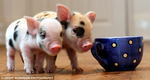 The £700 teacup-sized pigs that are the latest celebrity must-have