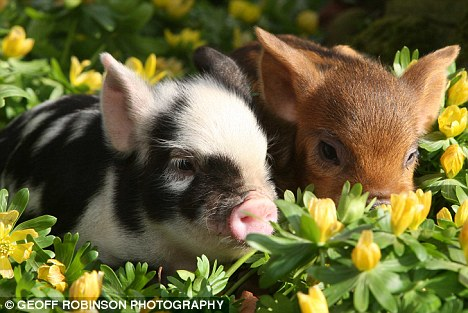 Cute Piggies Wallpaper Snuffling In The Sun Two Tiny Signs That Spring Has