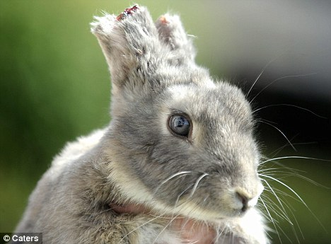 Pet Rabbit39s Ears Hacked Off In Attack Daily Mail Online