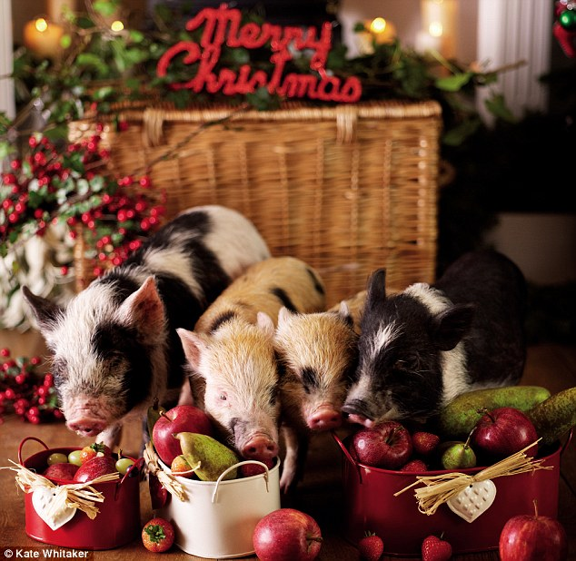 Cute Fruit Wallpaper Micro Pigs We Wait Up For Santa With This Season S Cutest