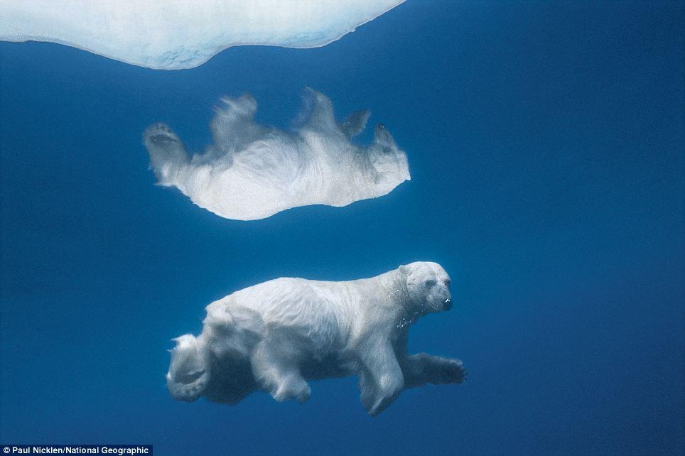 Polar bear reflection on crystal clear Arctic ice Daily Mail Online