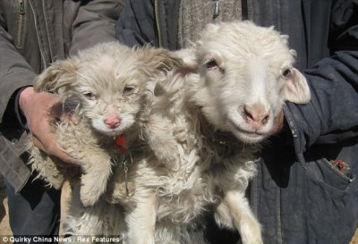 Ewe have got to be kidding! The 'puppy' born to a SHEEP