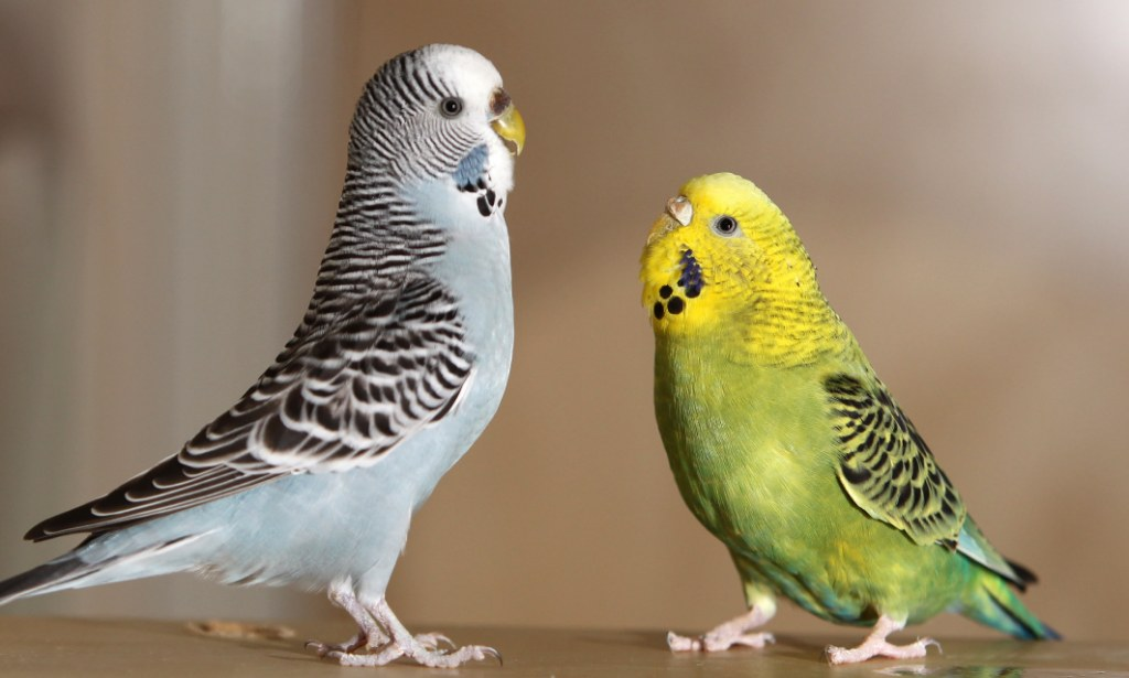 Cute Parakeet Wallpaper Bert The Budgie Hands Himself Into The Rspca Daily Mail