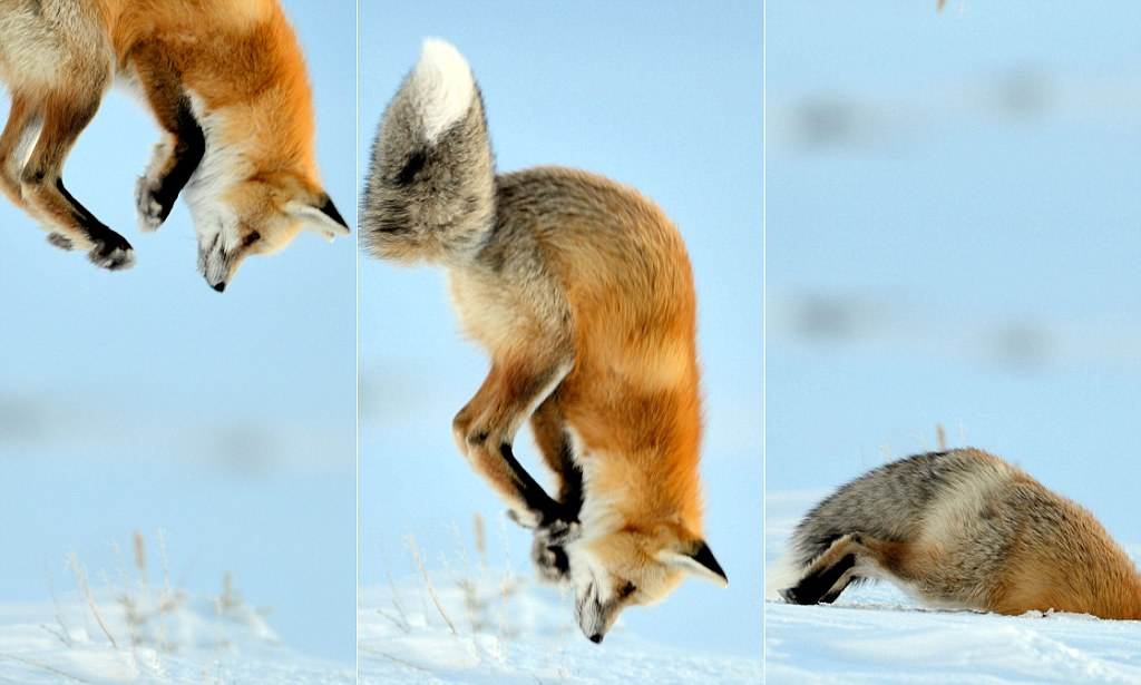 Cute Desktop Wallpaper Reddit Fox Dives Into Snow While Hunting For Mice Daily Mail Online