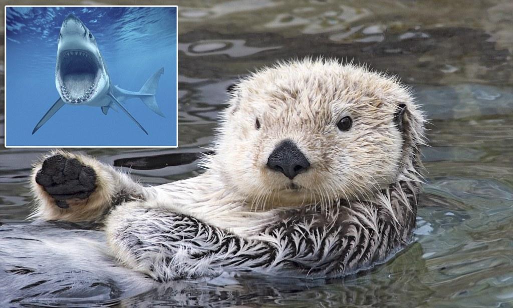 Otter Cute Wallpaper Otter Luck Sea Otter Populations Dwindling Dramatically