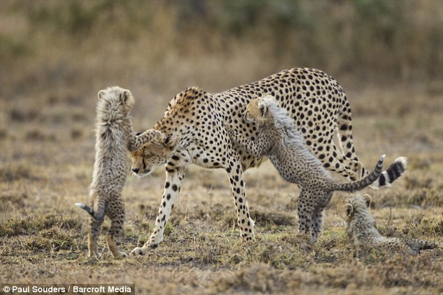 Cute Tiger Cubs Hd Wallpapers Heartwarming Pictures Of Cheetah Cubs Playing In Tanzania