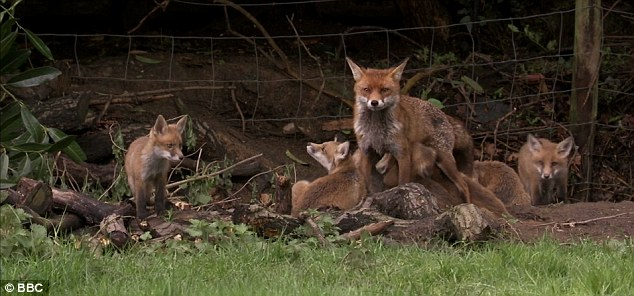 red fox pack