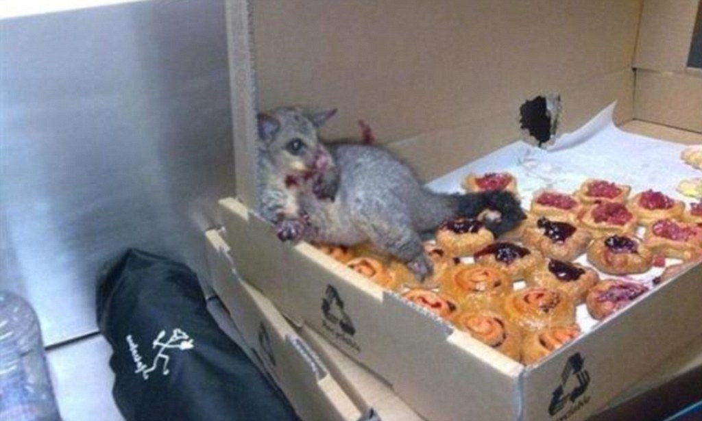Greedy possum overwhelmed by pastries after sneaking into bakery