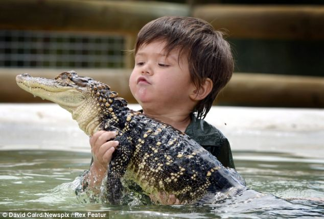 Reptile wrangler: Charlie calmly inspects the alligator in his arms at Ballarat Wildlife Park in Victoria, Australia