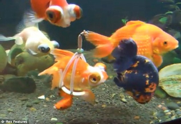 Buoy meets gill: Poorly goldfish can swim again after being given its