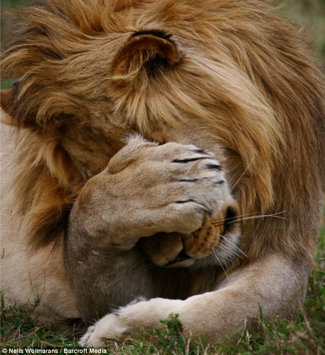 Crying Eyes Wallpapers With Quotes I Said No Pictures Shy Lion Covers Eyes With His Paw As