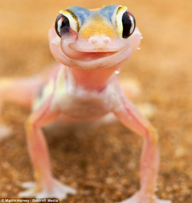 Cute Leopard Gecko Wallpaper Palmato Gecko Aww