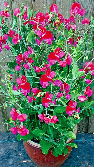 After Being Sneered At For Years, Sweet Peas Are Fashionable Again