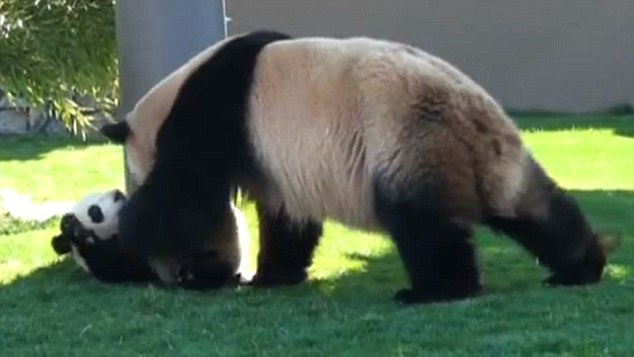 Not quite a Kung Fu Panda! Mother playfully teases her cute cub much