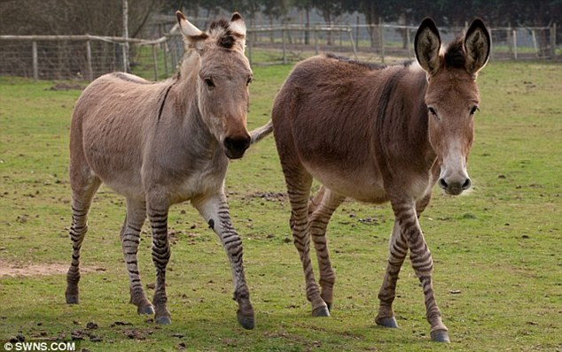 Who you calling stripey? Zee the zedonk, left, and Zambi the zonkey look more like donkeys, but have a zebra's temper, keepers say