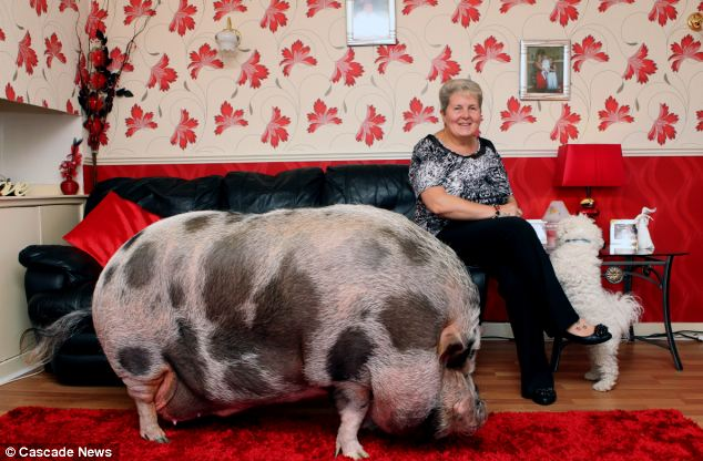 Piglet grows up to weigh 20 STONE after owner was duped by breeder