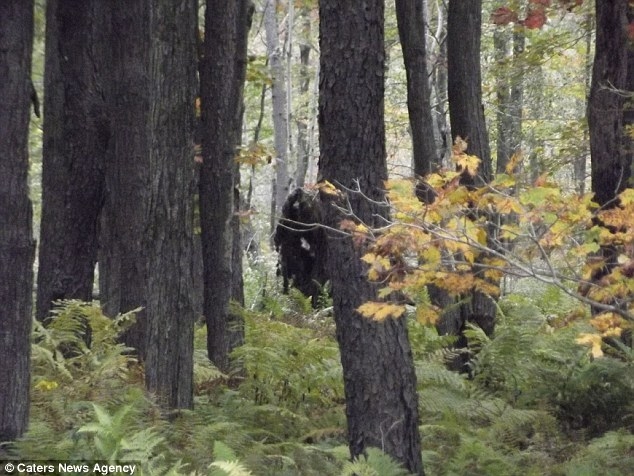 Lurking: The fascinating photographs were taken by keen hiker John Stoneman who was on his way home with his girlfriend from a festival with his girlfriend when the pair spotted the mysterious shape moving in the forest
