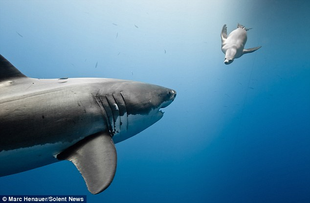 Cute Baby Angel Wallpaper Sea Lion Taunts Great White Shark By Biting Its Tail
