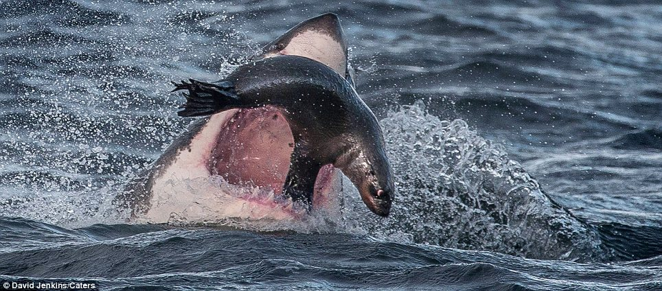 Cute Orca Wallpaper Seal Manages To Escape Great White Shark By Balancing On