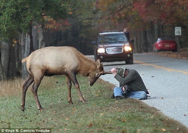 Fall In The Smokies Wallpaper Photographer Heartbroken As Elk Who Headbutted Him Is