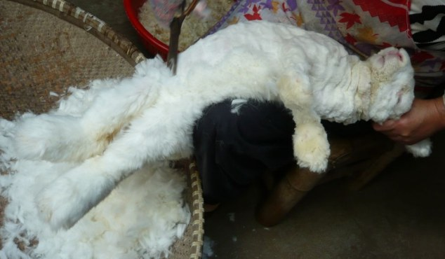 Cruel Truths Of The Angora Fur Trade Revealed In Shocking