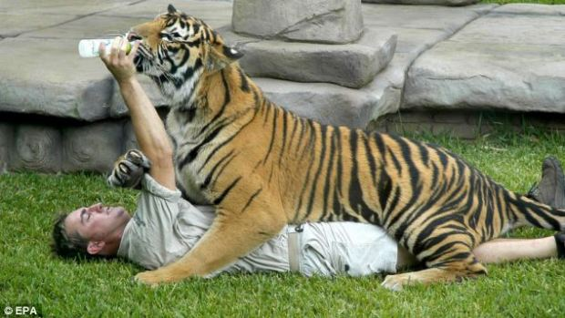 Daring displays: A handler feeds a tiger at Steve Irwin's Australia Zoo, which is home to three Bengal and eight Sumatran tigers