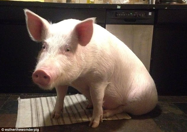 House pet Esther the mini-pig turns out to be not so mini as it