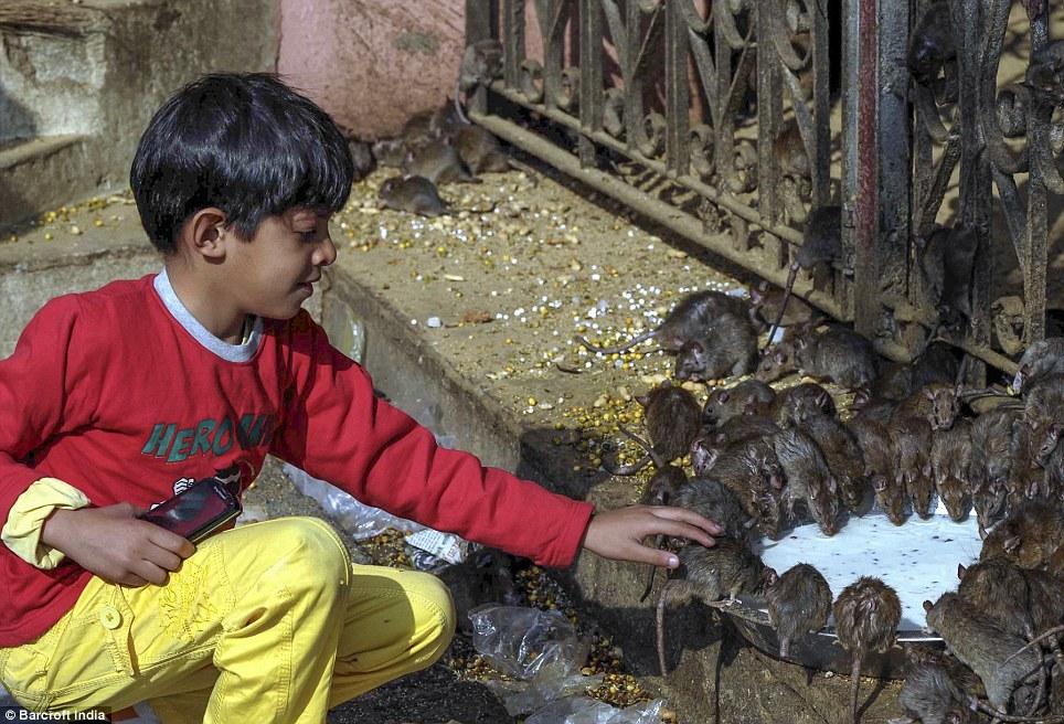 Girl Praying To God Wallpaper Karni Mata Rat Temple In Rajasthan India Daily Mail Online