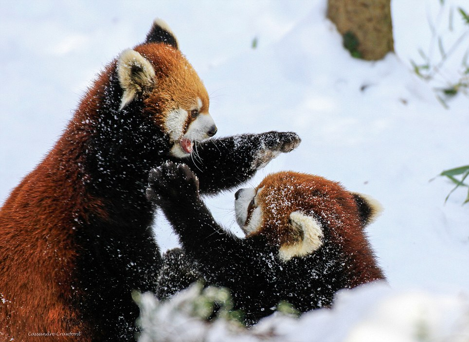 Alone Cute Baby Wallpaper Usually Solitary Red Panda Cubs Amaze Zoo Crowd With